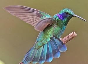 blue_colibri